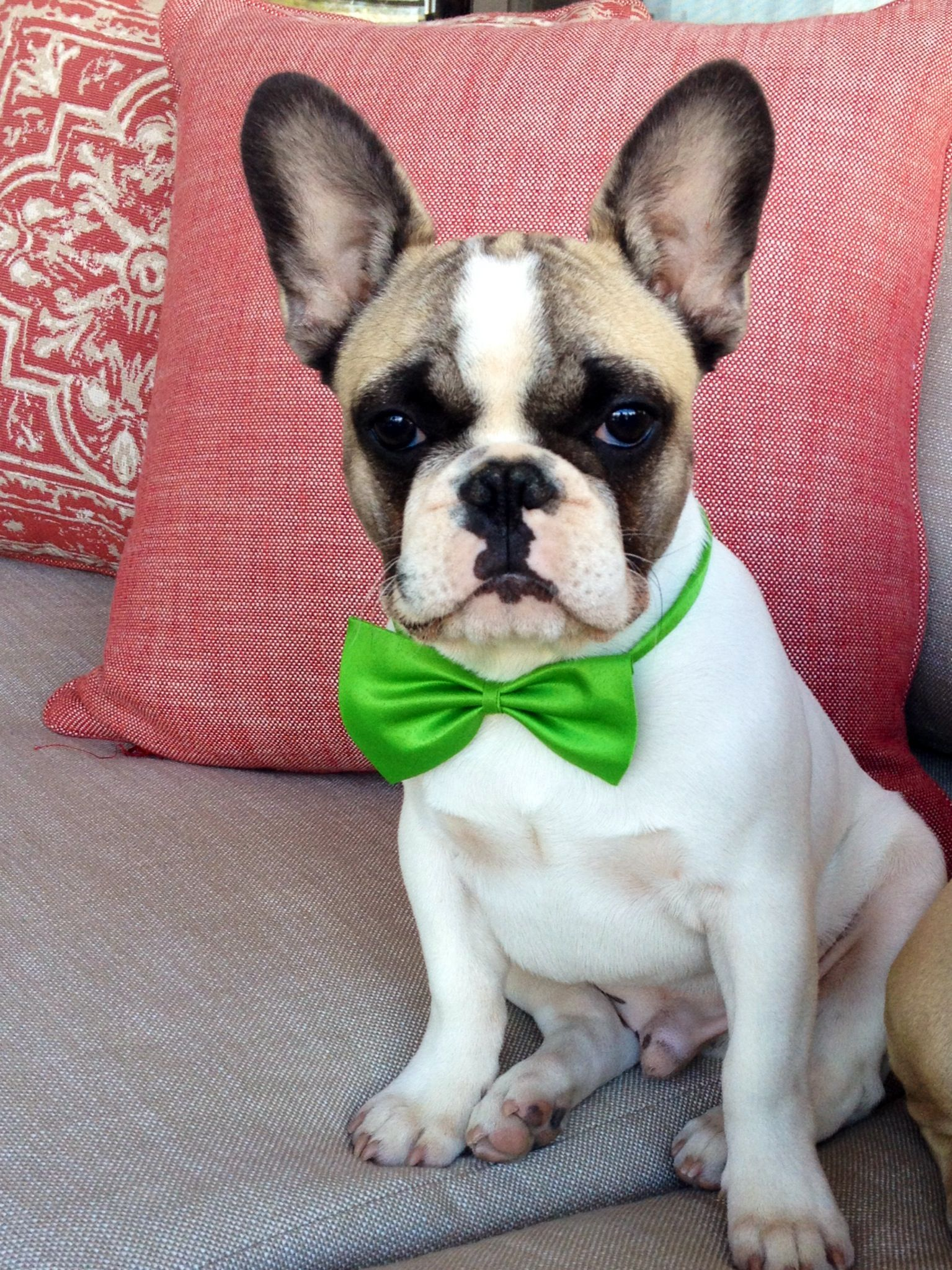 Lil Rango The French Bulldog Puppy In A Bow Tie Too Cute