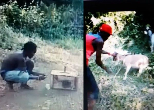 Jamaican boy filmed while pounding goat, setting helpless animal on fire! Act now to protect the animals in Jamaica! -                 I got ahold of two video clips from YouTube that show a man from Jamaica pounding and slapping a goat and another one that show...