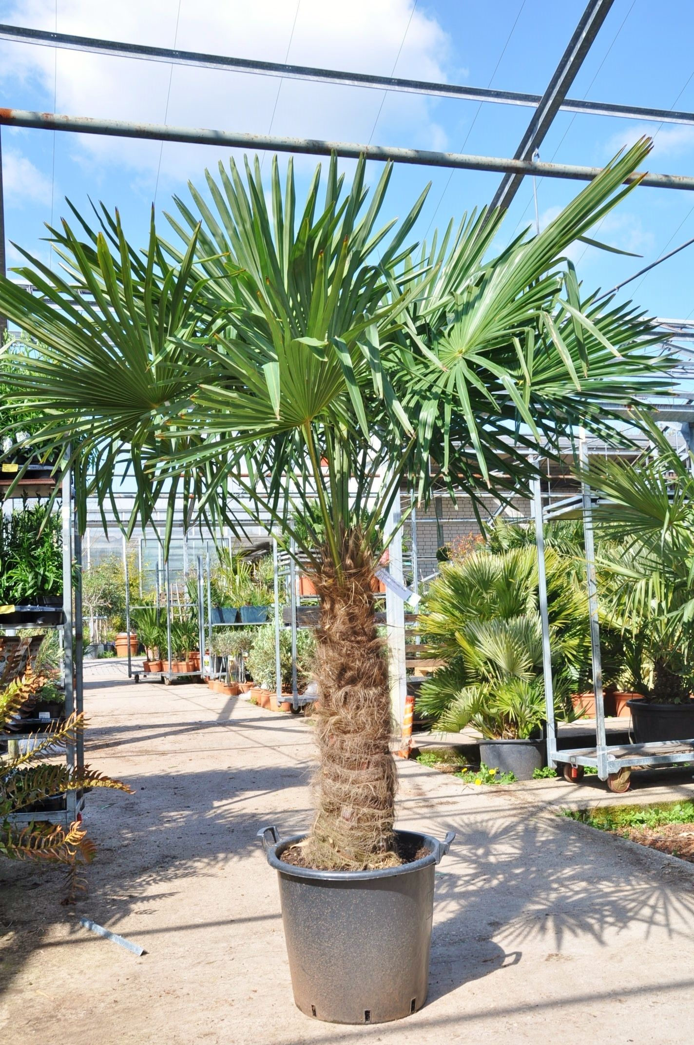 Hanfpalme Premium Fortunei Winterhart 70 80 Stamm In 2020 Hanfpalme Palmen Garten Winterhart