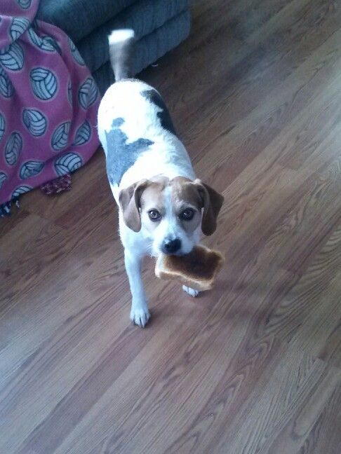 Beagle jack Russel mix. Milly.