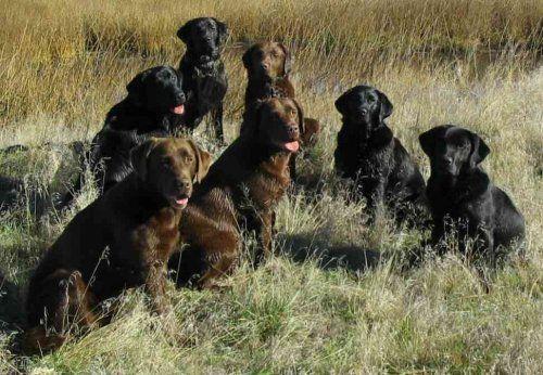 Sweet Eli blacklabpuppy Black lab puppies, Labrador