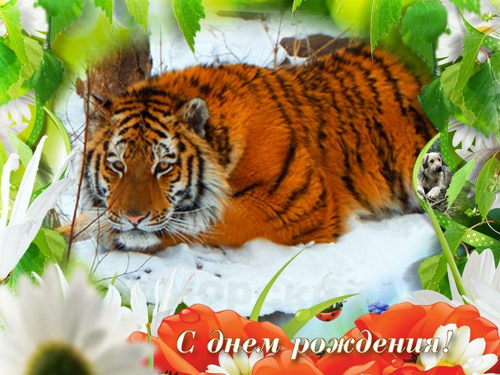 Красивые открытки, открытки с тиграми для фото