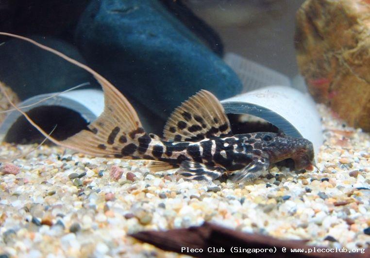 L273 Titanicus Pleco Saltwater Aquarium Fish Tropical Fish Aquarium Freshwater Fish