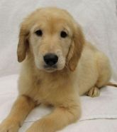 Puppies For Sale California Golden Retriever Breeders Golden Retriever Golden Retriever Breeder Puppies For Sale