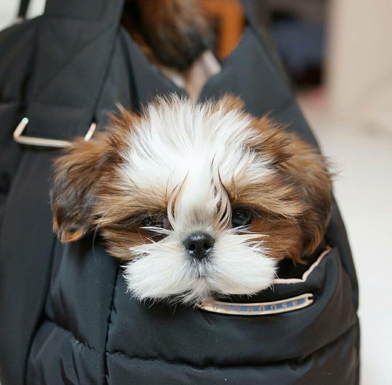 Pin by carla robertsonnevarez on dogs teacup puppies