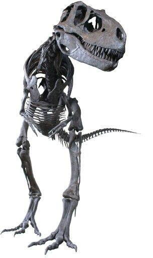 Albertosaurus. Dinosaur fossils, Dinosaur skeleton