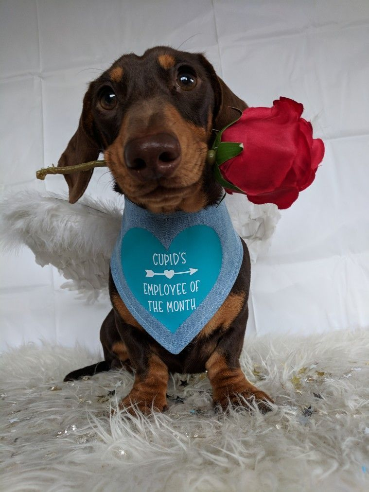 Roses Are Red My Bandana Is Blue I M An Angel And I Love You Dachshund Valentines Day Dog Dachshund Love Dachshund Puppies