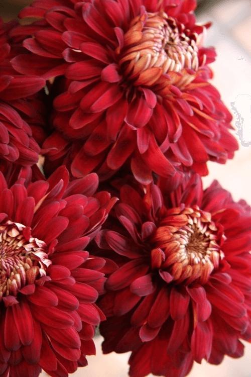Red Chrysanthemum Meaning Red Chrysanthemums Red Flowers Chrysanthemum Meaning