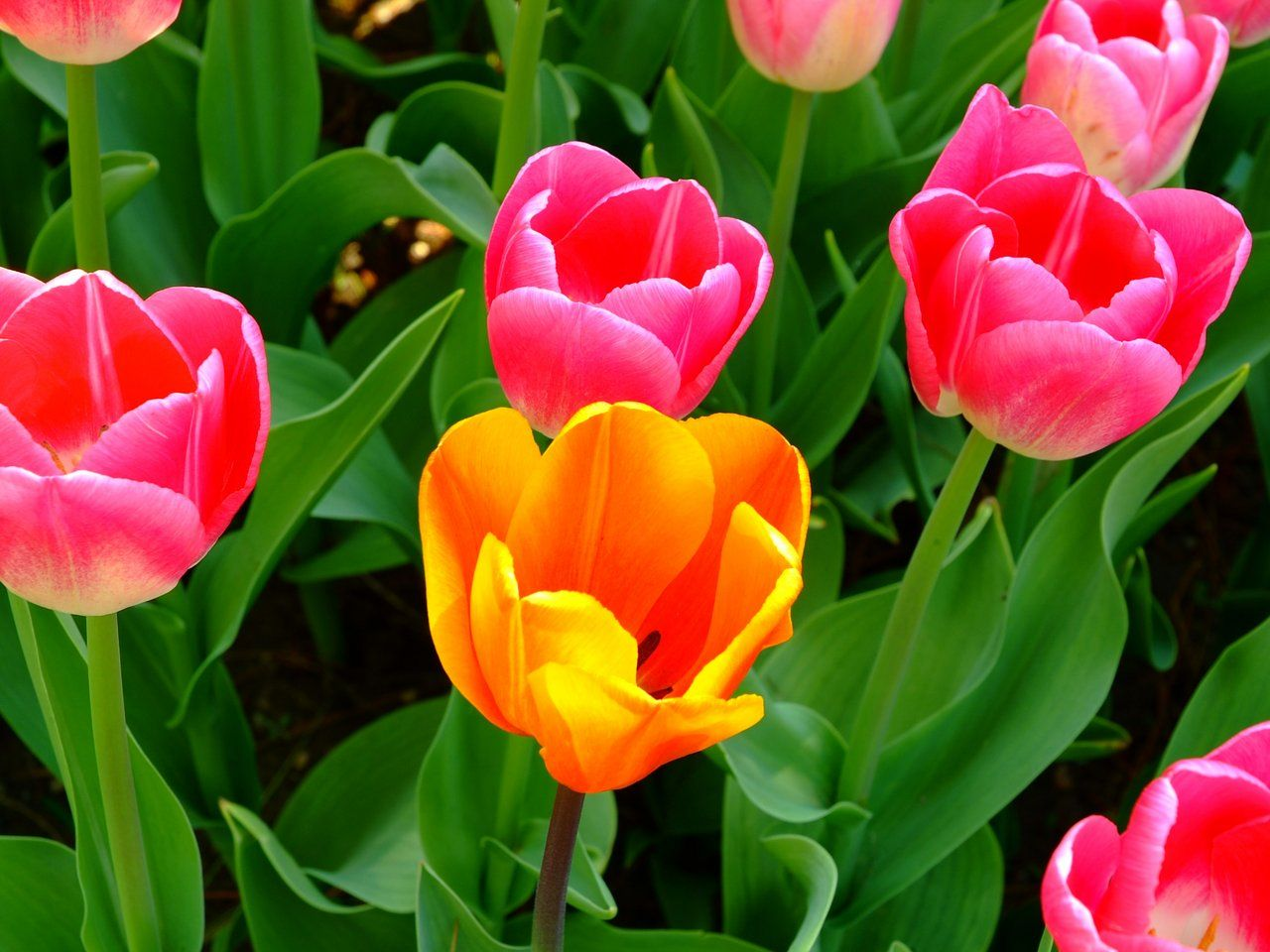 tulips in the spring - photo #18