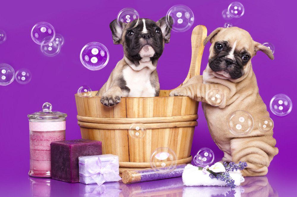 How to Bathe a Dog Bulldog puppies, French bulldog, Bulldog