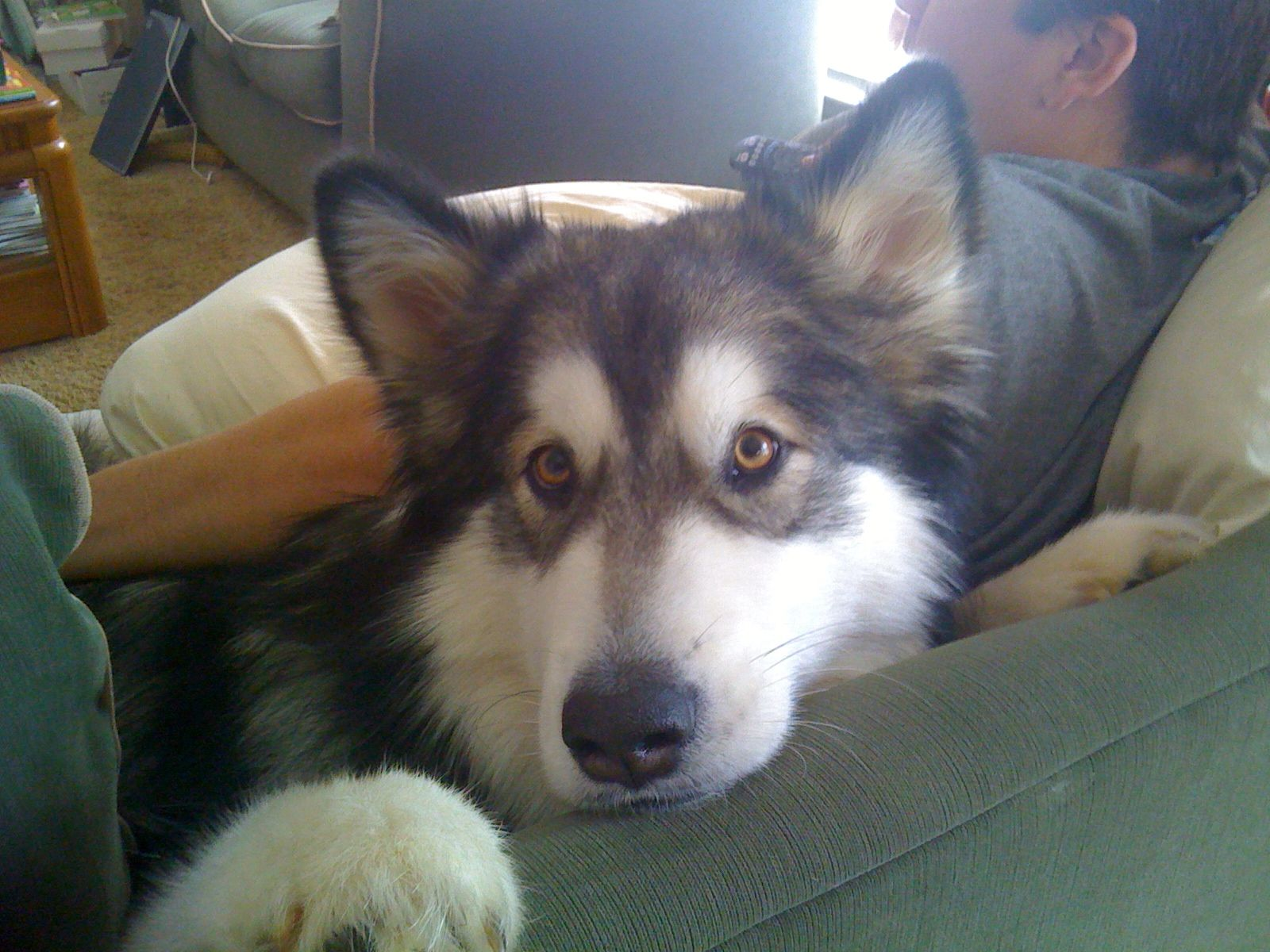 Tonka chillin on the couch | GIANT ALASKAN MALAMUTES ...