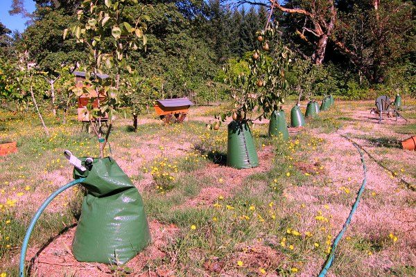 What S The Best Way To Water Trees Slowly A Watering Bag 400 x 300