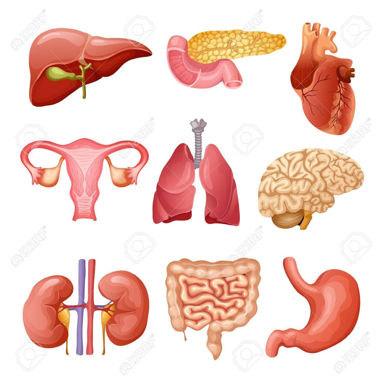 Cartoon Human Organs Set With Liver Pancreas Heart Female
