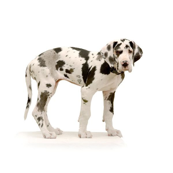 This will be mine... SOON :) Harlequin Great Dane pup