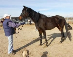 Angie is an adoptable Thoroughbred Horse in Phelan, CA. If you are interested in this or any of our other available animals, please check out our website at www.Mustang-Spirit.org Angie is a OTTB mare...
