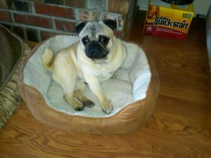 Adopt Wally On Pug Rescue Dogs Like Animals