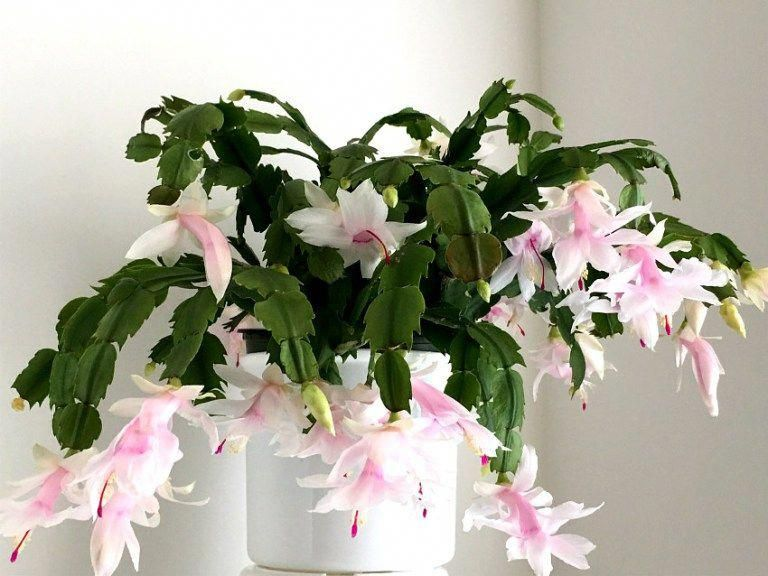 Christmas Cactus Plant Houseplantslowlight Jardin Secret Jardins