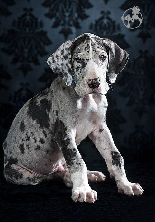 8 Week Old Merle Great Dane Puppy Dane Puppies Great Dane Puppy