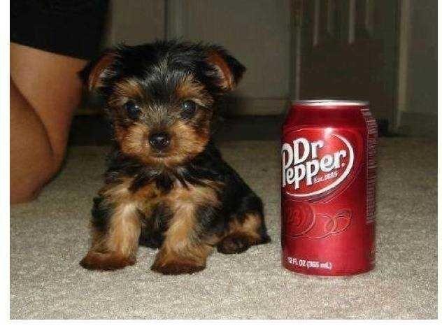 For sale - Micro and teacup yorkie puppies - San Jose 95116, CA - Yakaz