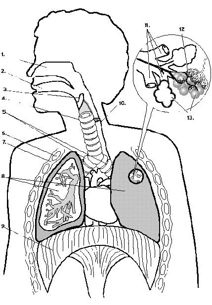 lung diagram