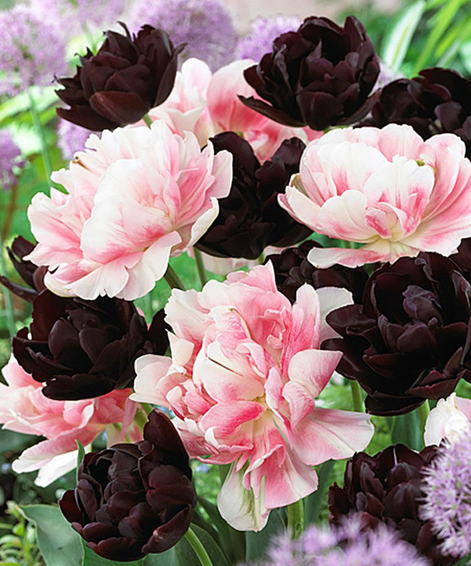 Love this Double Pink & Black Tulip Bulb - Set of 16 by Spring Hill Nursery on #zulily! #zulilyfinds