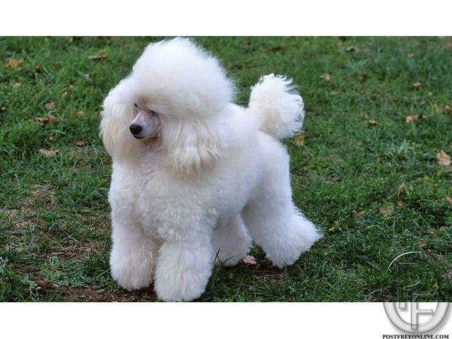 Poodle Puppies Available For Sale With Pet Destination In Mumbai