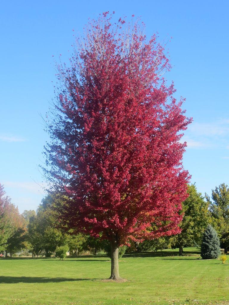 Acer X Freemanii Jeffersred Autumn Blaze Maple Hardiness Zone 4