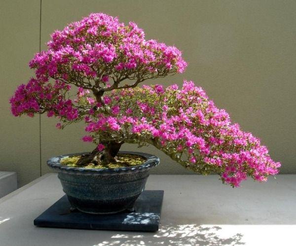 Azalee Blüten-pink Busch-bonsai Arten-tipps-pflege | Pflanzen ... Tipps Pflege Pflanzen Wintergarten