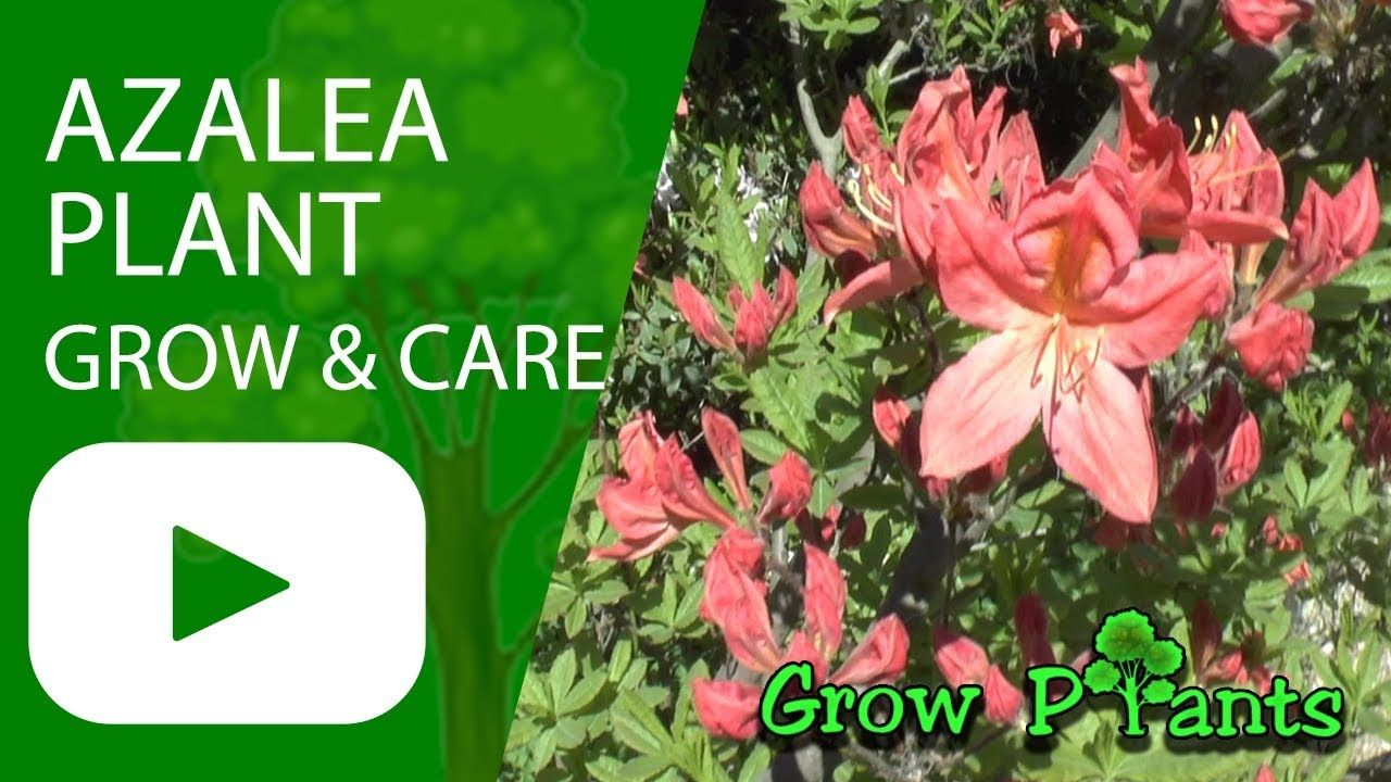 Azalea Grow Care Plant Information Climate Hardiness Zone Uses Growth Speed Water Requirement Light Exposure P Plants Growing Plants Planting Bulbs