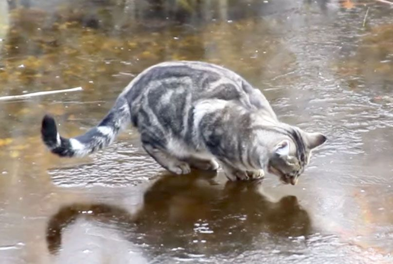 Cat video ice skating cats on a frozen fish pond with for Koi pond maine coon cattery