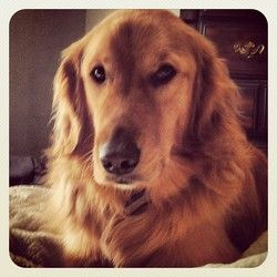 Adopt Dylan On Golden Retriever Rescue Dogs Golden Retriever