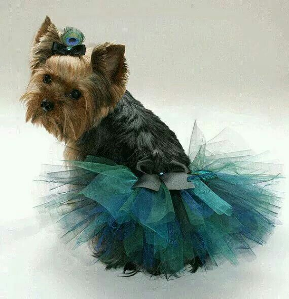 Yorkie in a skirt