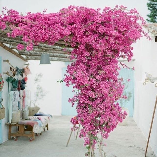 Summer Vacation Planning Has Officially Started Garden Vines Bougainvillea Trellis Bougainvillea