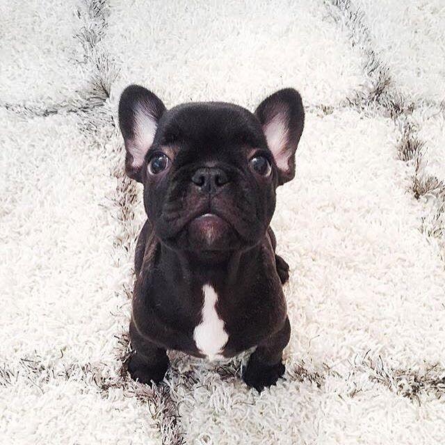 Teeny Weeny French Bulldog Puppy French Bulldog Puppies