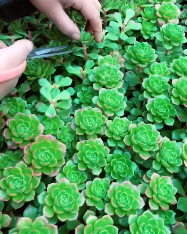 Succulent picking!