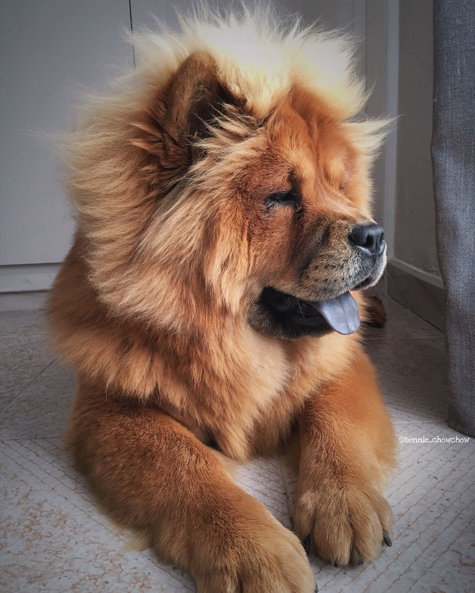 Pupy Training Treats My Cutie Bonnie Chow Chow Dog How To - This instagram chow chow looks like a fluffy potato and its so cute it doesnt even look real