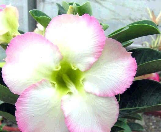 Graines Adenium (Super Parfumée) See more at : http://www.rarexoticseeds.com/fr/graines-adenium/graines-rose-desert-adenium-obesum-super-perfume.html
