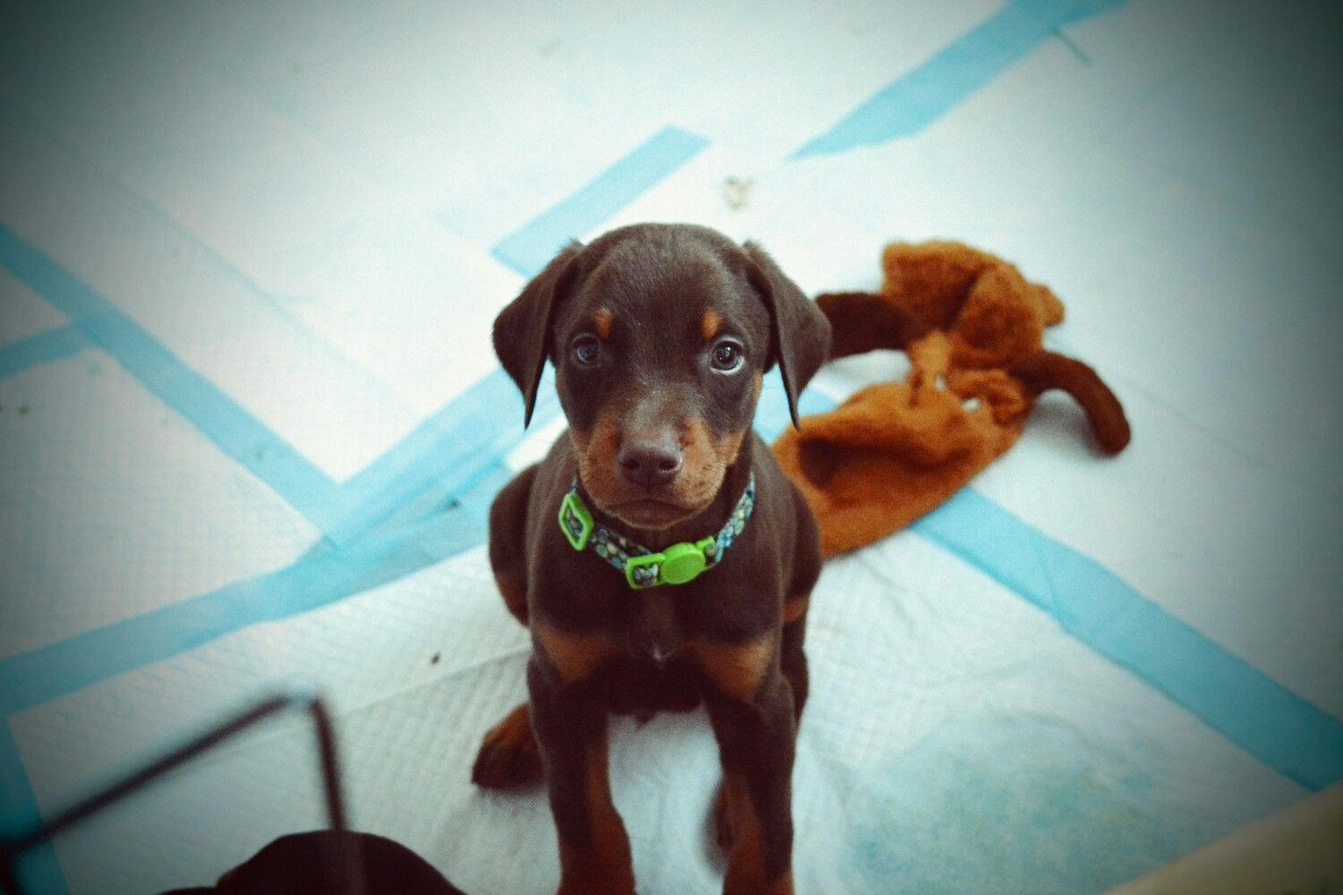 One Of Leia S Puppies From Dagobah Dobermans Ny 5 1 2 Weeks Old