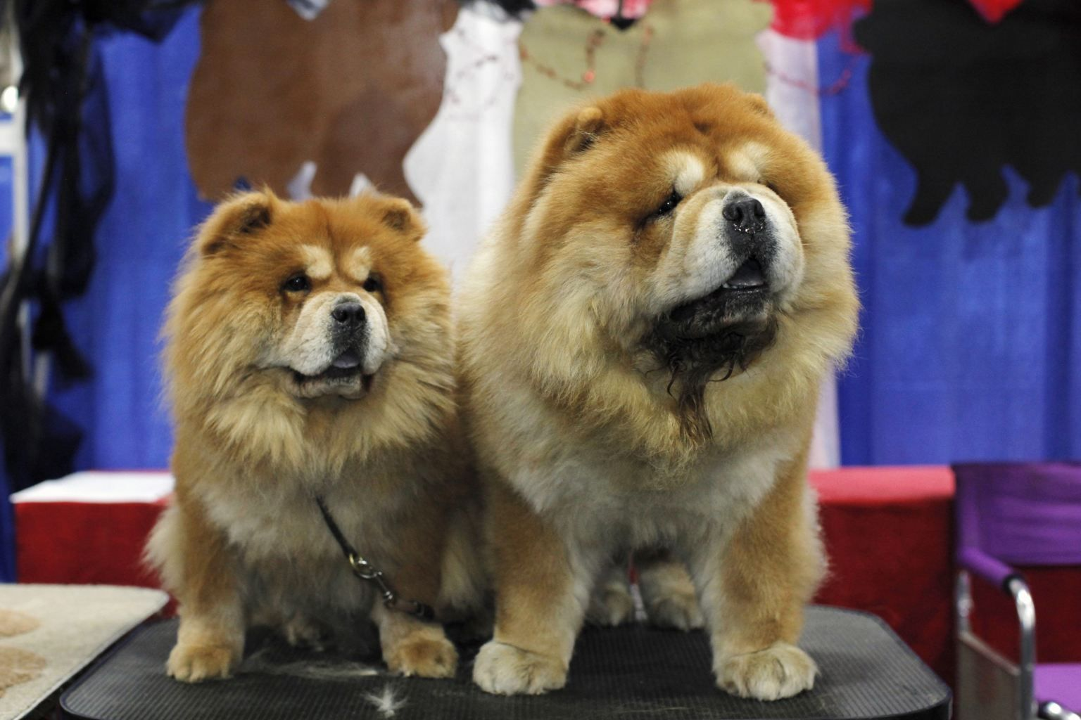 Quixote 6 And Ashley L 4 Of The Chow Chow Breed Are