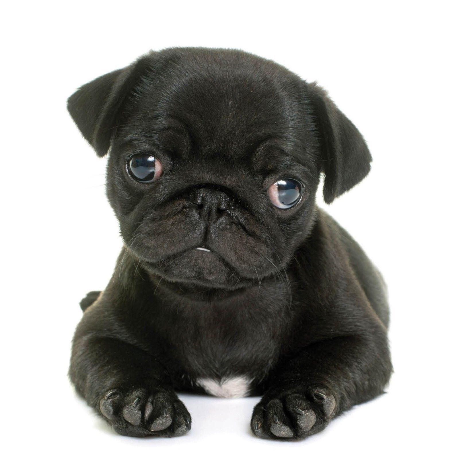 Black Pug Puppy Blank Card Available At Www Ilovepugs Co Uk Post