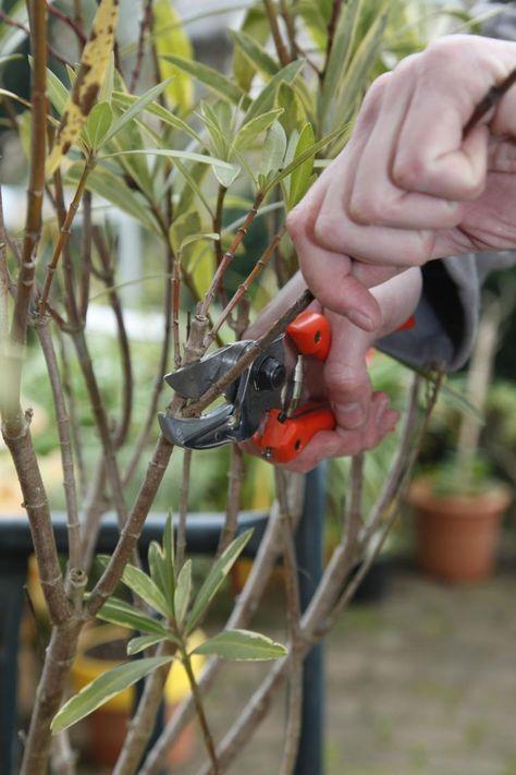 oleander richtig pflegen pinterest oleander schneiden g rten und pflanzen. Black Bedroom Furniture Sets. Home Design Ideas