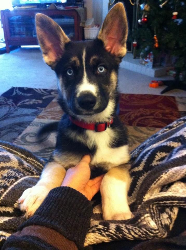 Husky Sheppard Mix My Husband S Christmas Present Cute Cats And Dogs Pretty Dogs Wolf Dog