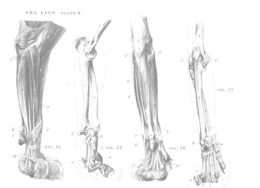 Lion Anatomy Front Legs 2 Mammals Animal Anatomy