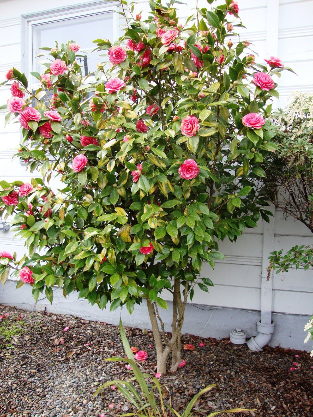 camellia shaped into a tree only grows in zones 7 9 but blooms