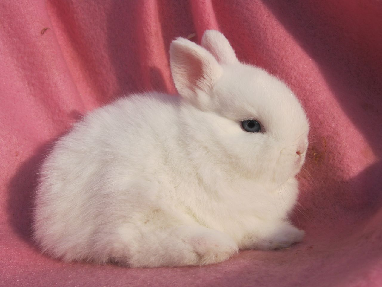 Baby Netherland Dwarf Bunnies Dwarf Bunnies Dwarf Rabbit Netherland Dwarf Bunny