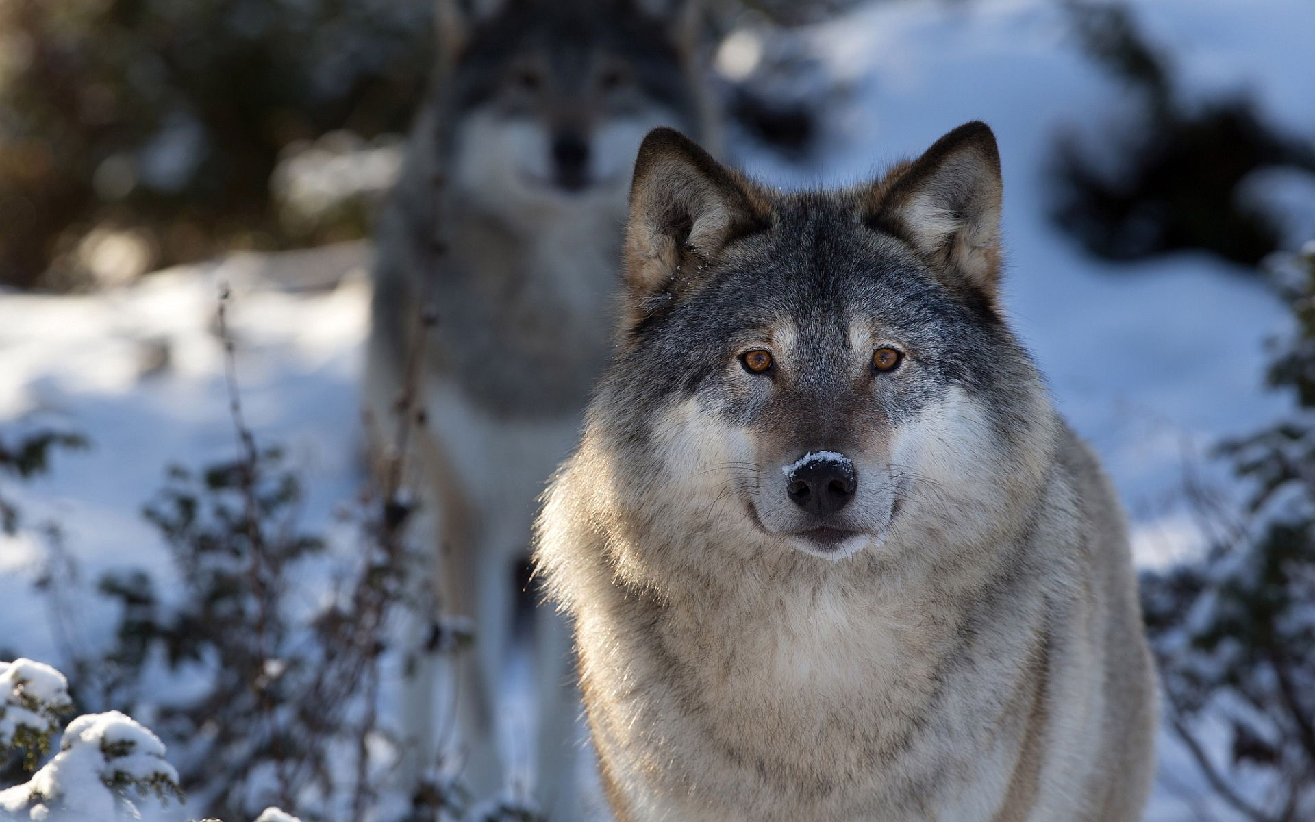 wolf with an image of a wolfe quotes. quotesgram | wolfs