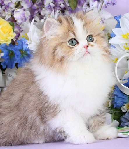 Golden White Bicolor Persian Kittens Cute Cats Teacup Persian Kittens Beautiful Cats