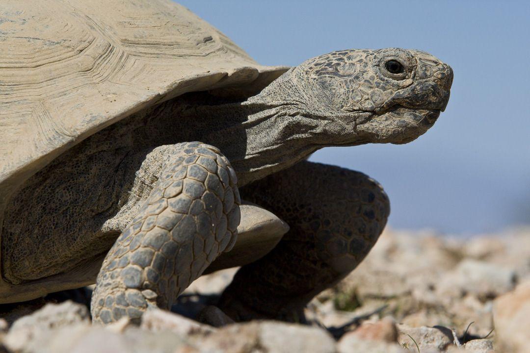 Desert Tortoise Fact Sheet Desert tortoise, Tortoise