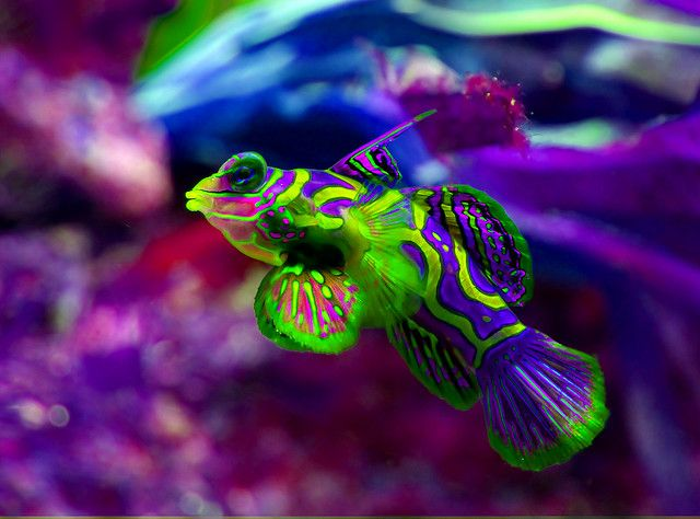 Synchiropus splendidus love this fish they do well in a for Cool saltwater fish