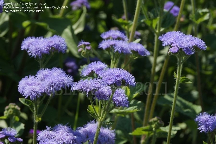 Floss Flower Ageratum Blue Horizon Flowers Plants Pictures